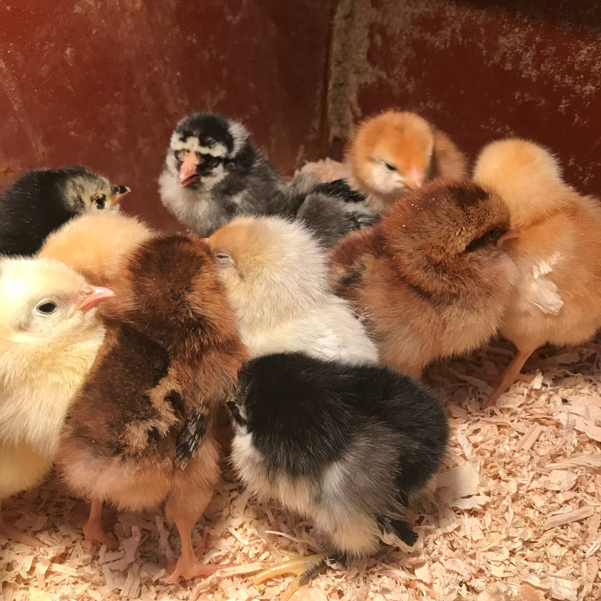 Meet Our New Chicks!